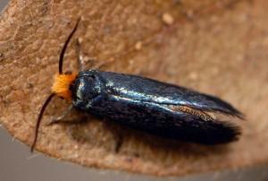 Paraclemensia cyanella 06 3