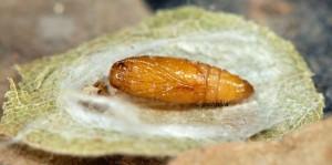 Paraclemensia cyanella chrysalide 06 1