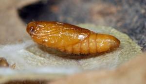Paraclemensia cyanella chrysalide 06 2