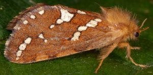 Phymatopus hecta 38 1