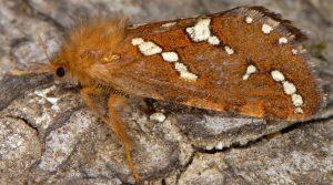 Phymatopus hecta 38 2