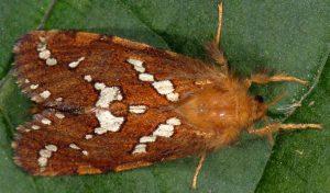 Phymatopus hecta 38 3
