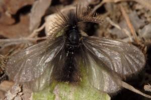 Ptilocephala plumifera 1