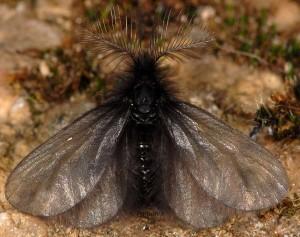 Ptilocephala plumifera 2