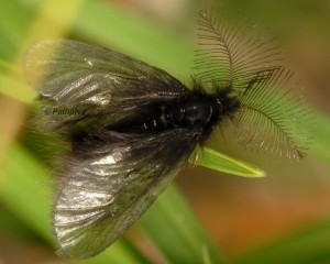 Ptilocephala plumifera 3