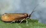 Roeslerstammiidae
