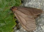 Sterrhopterix fusca (I)