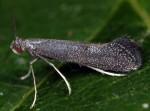 Tinagma ocnerostomella (I)