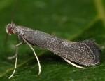 Douglasiidae