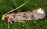 Tinea basifasciella (I)