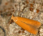 Tischeria decidua (I, G)