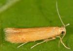Tischeria dodonaea (I)