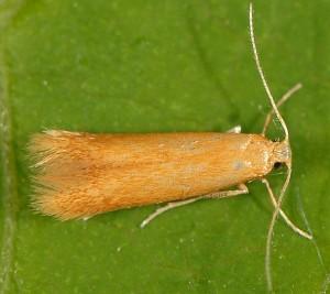 Tischeria dodonaea 2