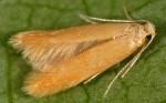 Tischeriidae