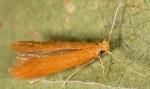Tischeria ekebladella (I)