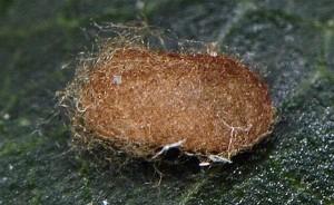 Trifurcula alypella cocon 13