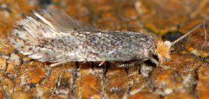 Trifurcula-cryptella-06-2