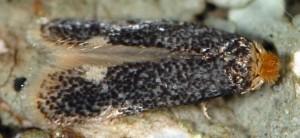 Trifurcula eurema 06 4