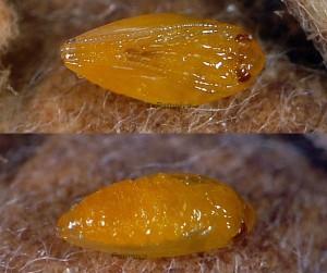 Trifurcula eurema chrysalide 06 1