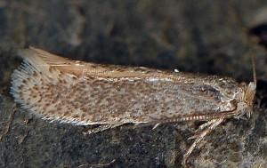 Trifurcula immundella 66 1