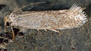Trifurcula immundella 66 2