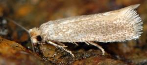 Trifurcula immundella 66 3