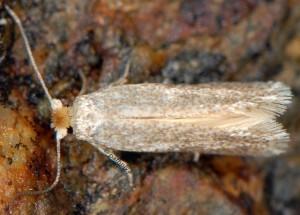Trifurcula immundella 66 4