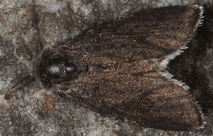Typhonia ciliaris
