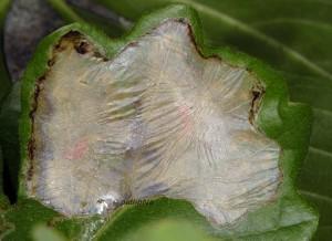 Acrocercops brongniardella m 1