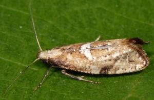 Acrolepiopsis marcidella 66 1