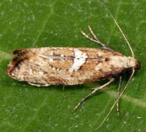 Acrolepiopsis marcidella 66 2