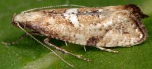 Acrolepiopsis marcidella 66 3