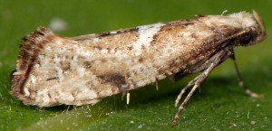 Acrolepiopsis marcidella 66 4