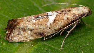 Acrolepiopsis marcidella 66 5