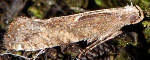 Acrolepiopsis vesperella 06 1