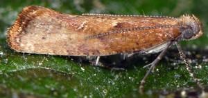 Acrolepiopsis vesperella 06 2