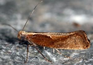 Acrolepiopsis vesperella 06 3