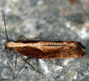 Acrolepiopsis vesperella 06 4