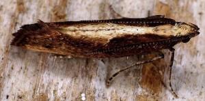 Acrolepiopsis vesperella 06 5