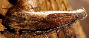 Acrolepiopsis vesperella 06 6