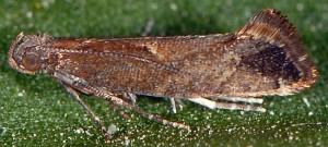 Acrolepiopsis vesperella 2A 1