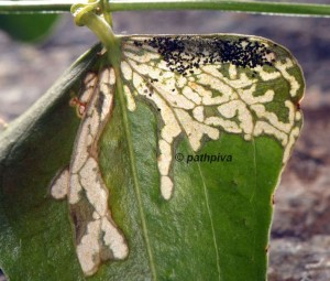 Acrolepiopsis vesperella attaques 06 2