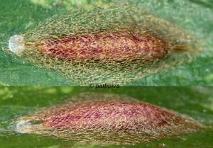 Acrolepiopsis vesperella cocon 06 1