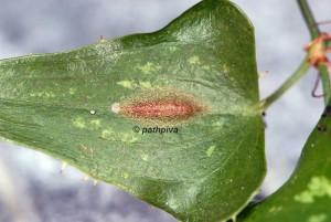 Acrolepiopsis vesperella cocon 06 3