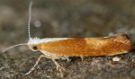 Argyresthia albistria (I)