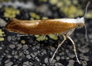 Argyresthia albistria 3