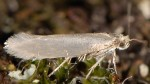 Argyresthia amiantella (I)