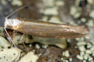 Argyresthia-arceuthina-06-2