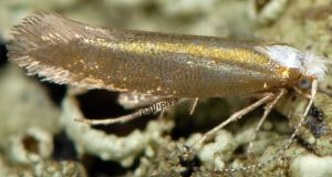 Argyresthia-arceuthina-06-3