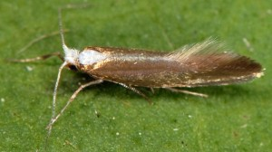 Argyresthia arceuthina 2